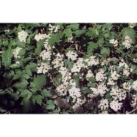 Physocarpe à feuilles d'obier