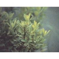 Spirée à larges feuilles