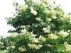 Lilas Japonnais