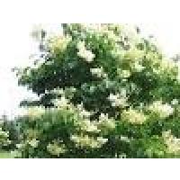 Lilas japonais