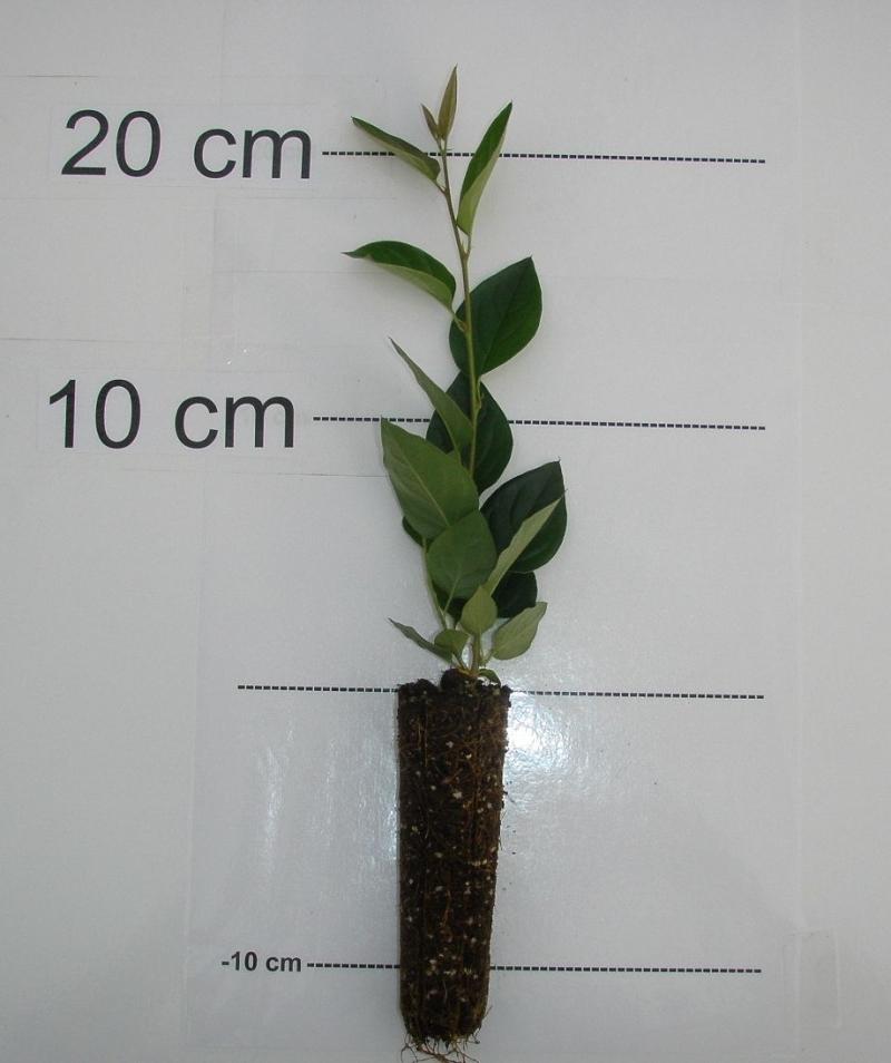 Coton aster de p kin arbre en ligne achat d 39 arbres et for Arbuste en ligne