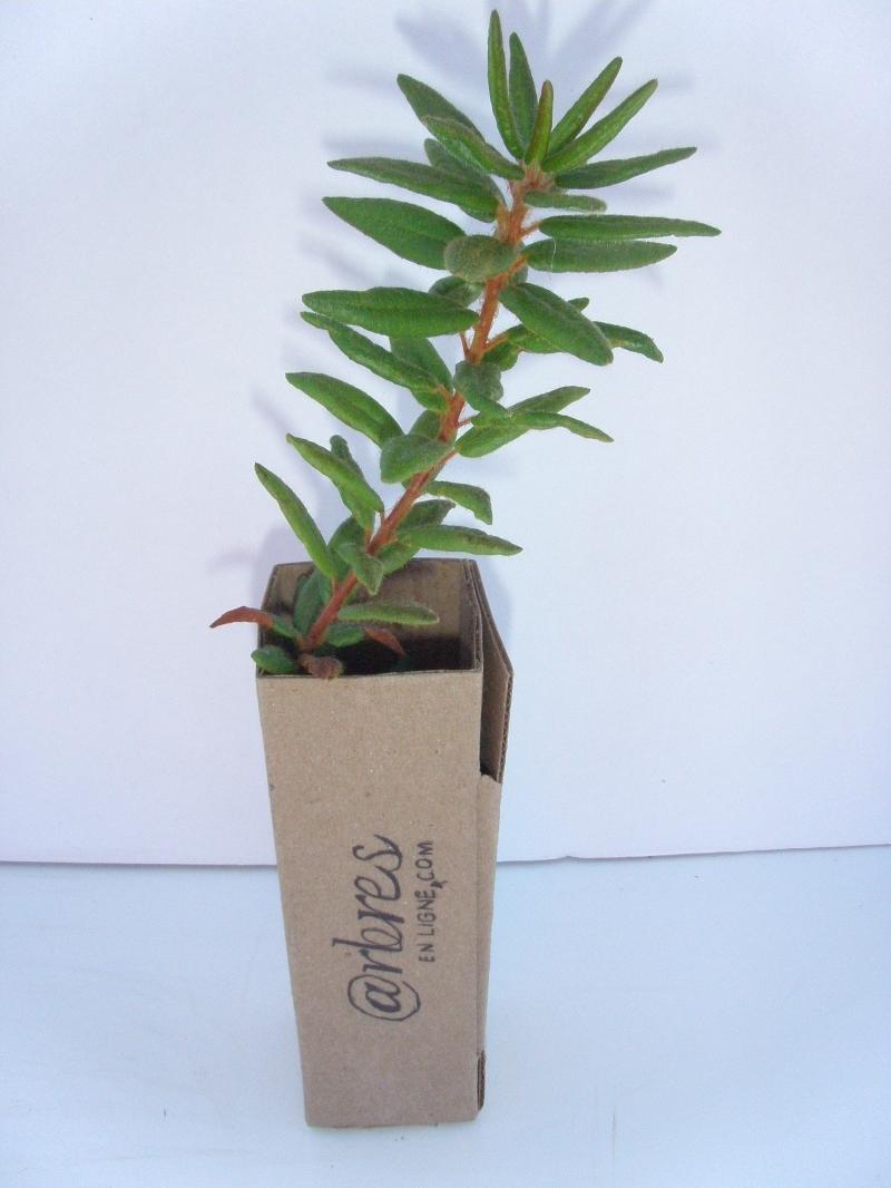Th du labrador arbre en ligne achat d 39 arbres et d for Arbuste en ligne