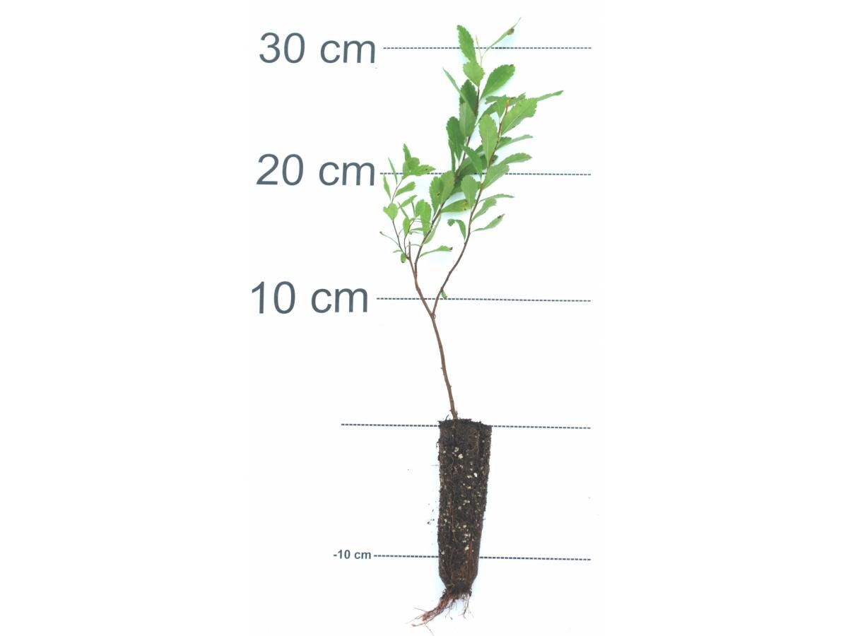 Spir e larges feuilles arbre en ligne achat d 39 arbres for Arbuste en ligne