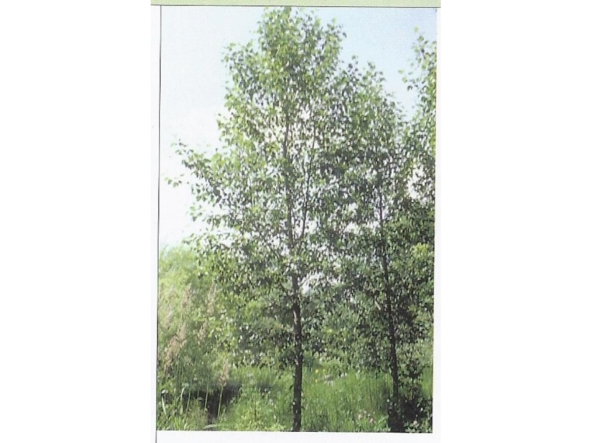 Peuplier baumier arbre en ligne achat d 39 arbres et d for Achat plantes et arbustes en ligne