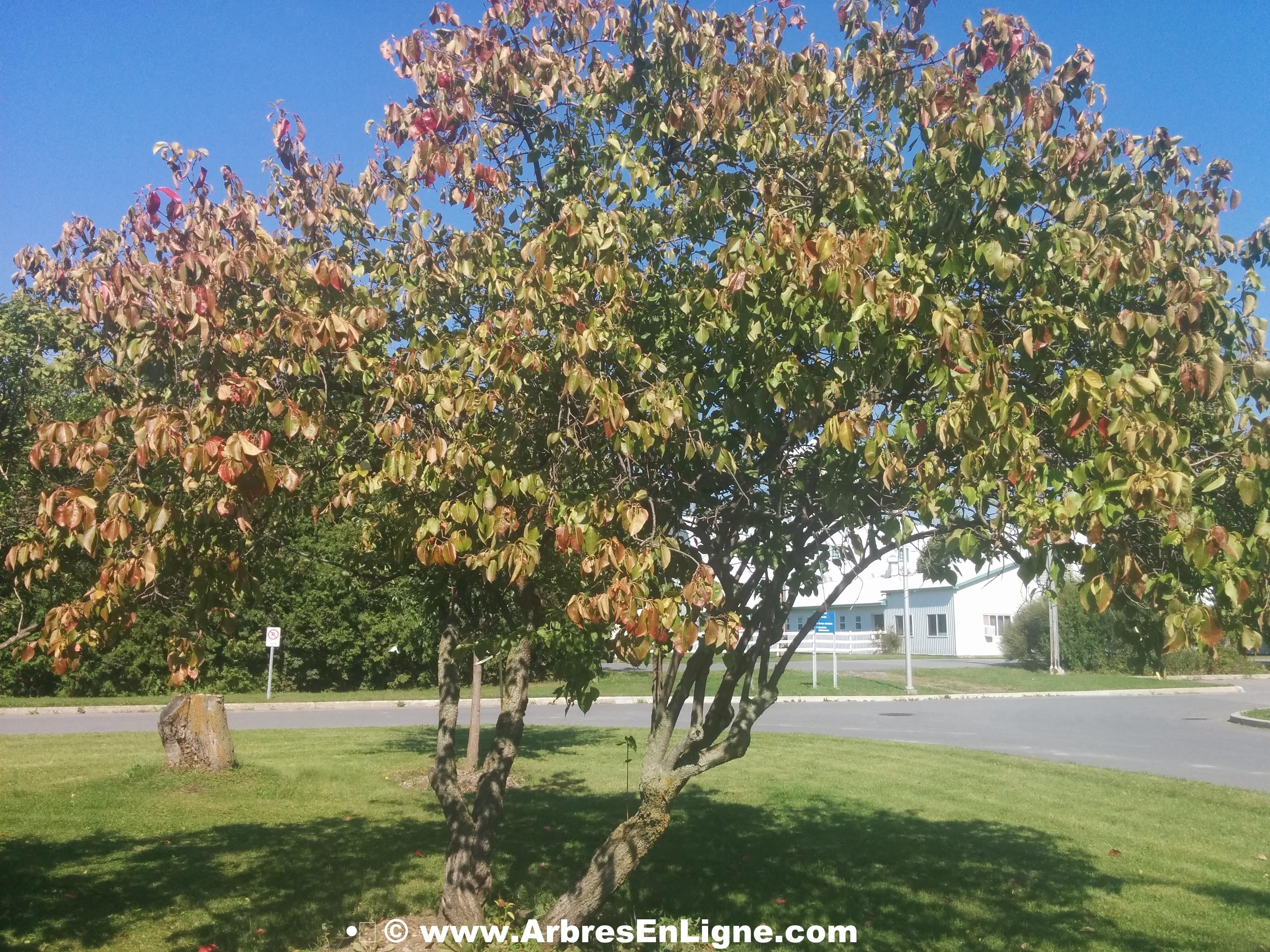 Viorne lentago arbre en ligne achat d 39 arbres et d for Achat plantes et arbustes en ligne