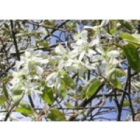 Amélanchier à feuilles d'aulne